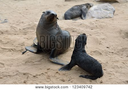Cape Fur Seals, Skeleton Coast, Namibia
