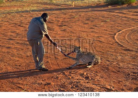 KALAHARI NAMIBIA - JAN 23 2016: Bagatelle Kalahari Game Ranch Wild Cheetah feeding at sunset. African Savannah Namibia. Warm evening light