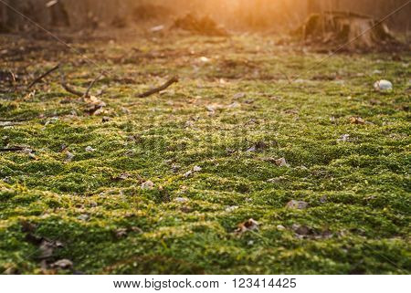 the ground is covered with fresh greenery the sunshine the forest in early spring