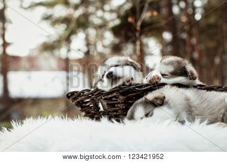 One month old dedicated alaskan malamute puppies outdoors