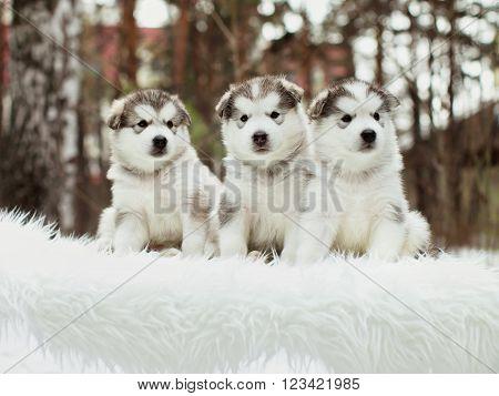 One month old dedicated alaskan malamute puppies