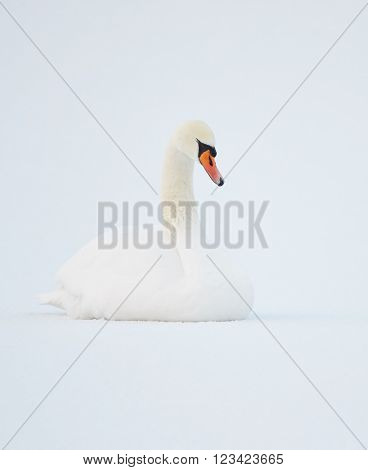 Mute Swan (Cygnus Olor) sitting on ice of a snowy lake in Finland in the winter. Pure white snow on the background.