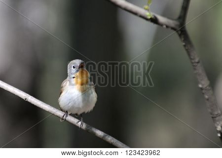 Singing male Red-breasted Flycatcher (Ficedula parva) in spring forest. Moscow region Russia
