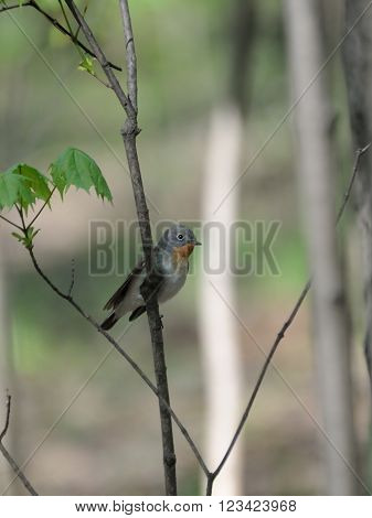 Perching male Red-breasted Flycatcher (Ficedula parva) in spring forest. Moscow region Russia