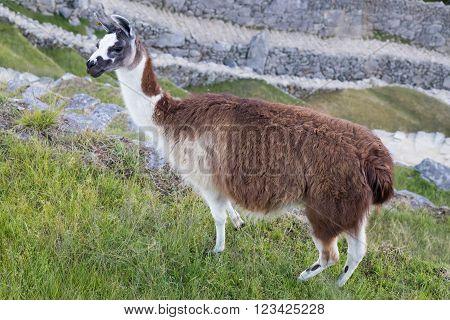 Llama In Machu Picchu, Andes Mountains,  Peru