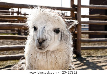 Cute White Alpaca
