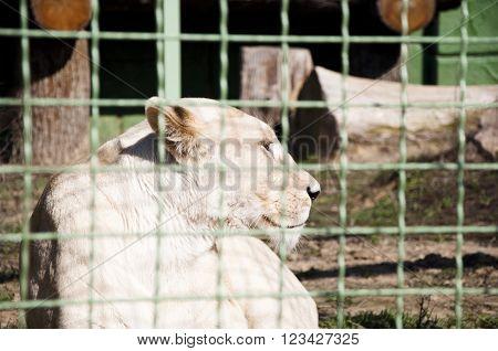 White Liones Behind Wire Netting