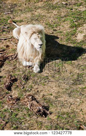 Big White Lion Relaxing