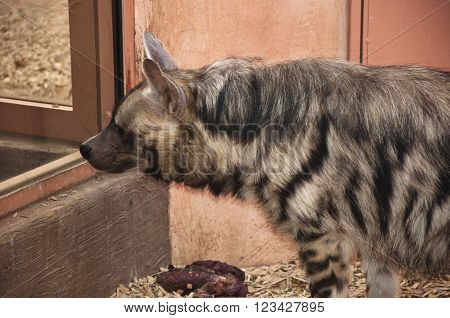Hyena Looking Through Window