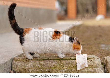 Stray cat is eating pig skin outdoors