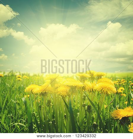 field with  grass and yellow dandelions under blue sky, retro toned