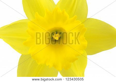 Single yellow daffodil flower close up on white.