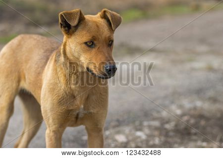 Outdoor portrait of stray female dog looking with stare