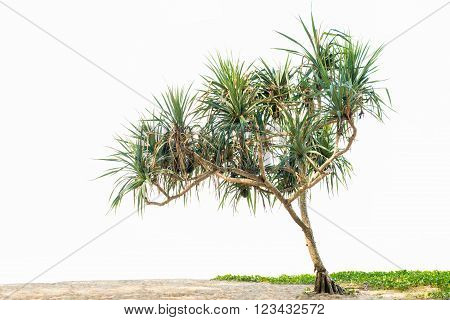 Beautiful tropical plant Pandanus tree on sand beach and Ipomoea. isolated on white background copy space.