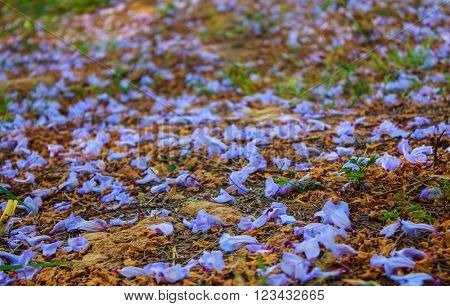 purple jacaranda flowers on fall in north thailand