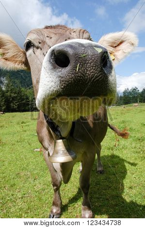 Curious cow close-up on graze on the Swiss alps