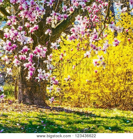 The magnolia tree and the forsythia are sure signs of Spring.