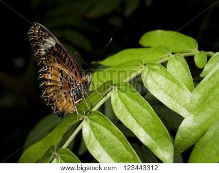 Closeup Butterfly on green leaf in the garden (The Malay Lacewing)