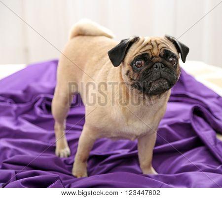 Pug dog lying on purple bedding