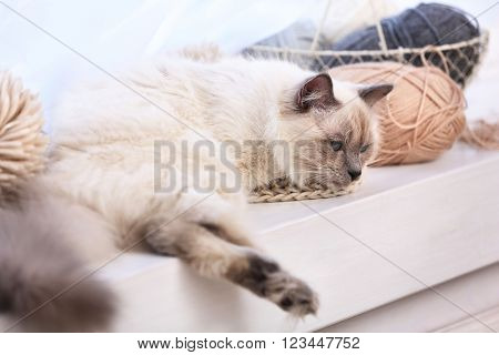 Color-point cat with skeins and scarf lying on a window in living room