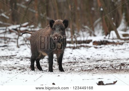 Close portrait of of the adult wild boar