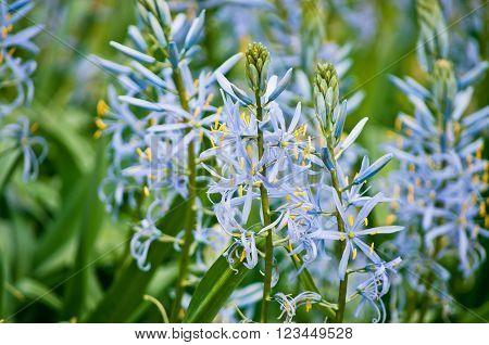 Purple Camassia quamash flowers Closeup. Shallow depth of field