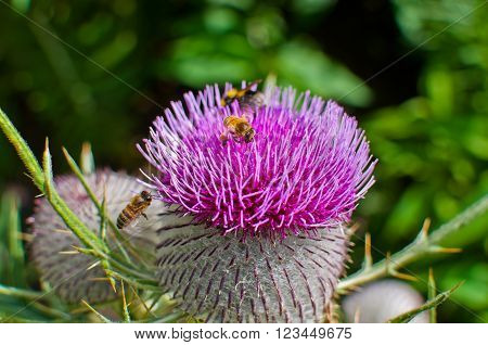 Bumble bee on a purple woolly thistle. Cirsium eriophorum