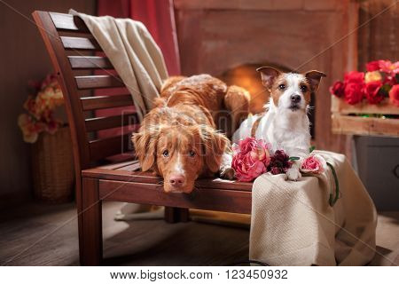 Dogs Jack Russell Terrier And Dog Nova Scotia Duck Tolling Retriever  Portrait Dog Lying On A Chair