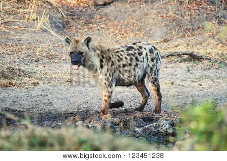 A lone Spotted Hyena drinking water at a dam in the Kruger National Park, South Africa.
