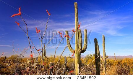 Ocotillo with bright red blooms and Saguaro Cactus in Saguaro National Park