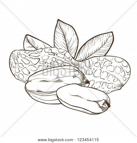 Peanut vector isolated on white background. Peanut seeds. Engraved vector illustration of leaves and nuts of peanut. Peanut in vintage style.