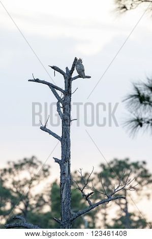Great Horned Owl scans surroundings from tall dead tree