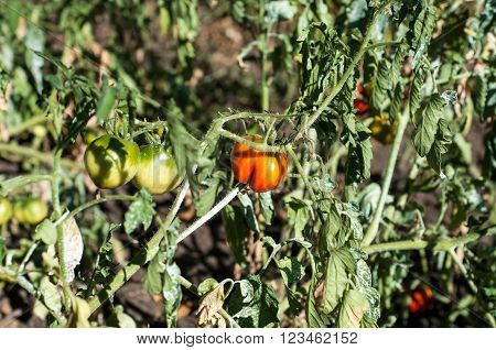 Red And Green Tomatoes In The Garden, Soon All Will Ripen