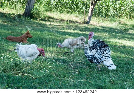 Animals At The Farm - Turkey, Hans, Dog