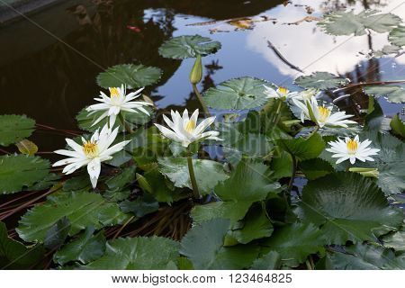 Beautiful white lotus flower in a decorative pond.