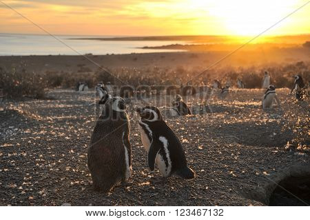 Magellanic Penguins early morning at Punto Tombo Patagonia Argentina