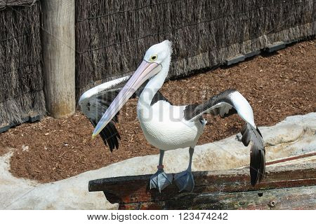 Australian white pelican perched on an upturned boat