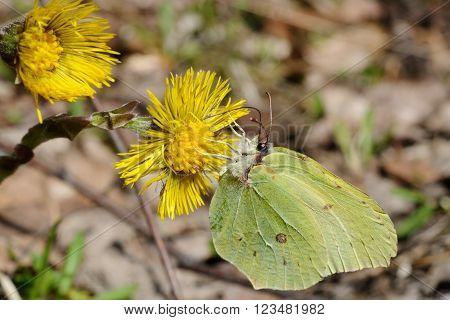 Brimstone butterfly is sitting on a foalfoot flower, Puumala, Finland