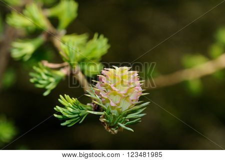 A close up shot of a larch tree blossom, Puumala, Finland