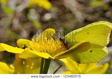 Brimstone butterfly (Gonepteryx rhamni powedery) is sitting on a marsh marigold flower, Puumala, Finland