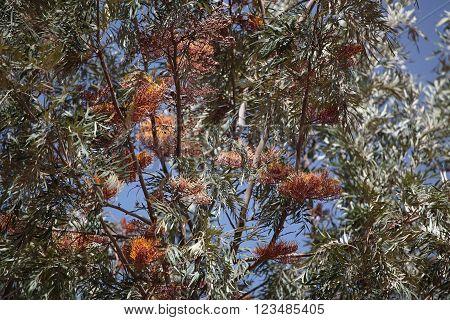 Flowers of a Silky or Silver Oak Tree (Grevillea robusta).