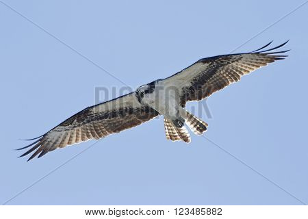 Osprey Hovering Against A Blue Sky