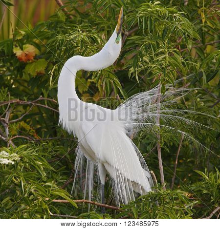 Great Egret Displaying In Breeding Season - Florida