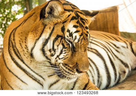 Tiger Close Up Portrait