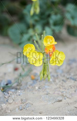 Golden Evening Primrose blooming in Marble Canyon in Death Valley National Park