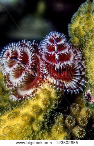 Spirobranchus giganteus commonly known as Christmas tree worms are tube-building polychaete worms belonging to the family Serpulidae ** Note: Soft Focus at 100%, best at smaller sizes