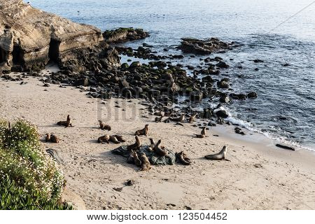 Seals on the beach in front of the ocean, rocks and cliffs at La Jolla Cove in La Jolla, California.