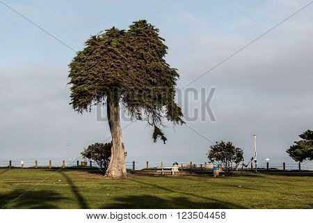 Monterey Cypress tree at Ellen Browning Scripps Park in La Jolla, California.