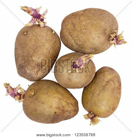 Germinating potatoes with big sprouts isolated on white background