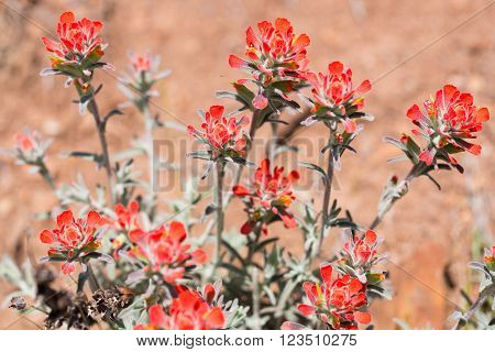 Indian Paintbrush blooming in Monte Bello Open Space Preserve in Northern California.